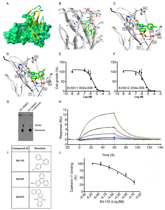 Structural modeling of celecoxib, DMC and other small molecule inhibitors binding to CDH11 and inhibiting the growth of MDA-MB-231 cells. Sd-133 binding capability to CDH11 was validated by SPR.