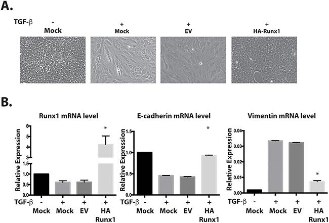 Runx1 reverses TGFβ induced EMT.