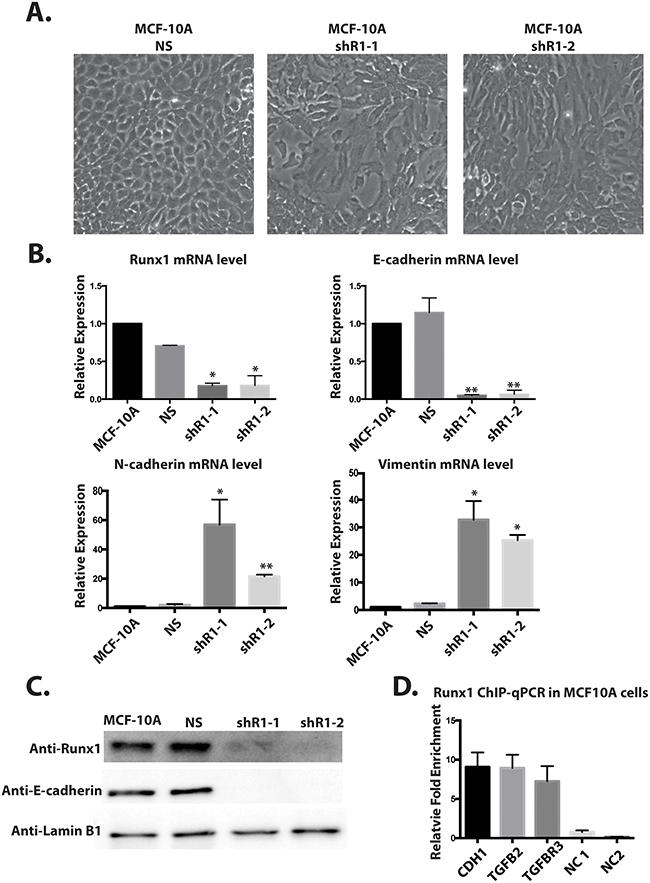 Depleting Runx1 in MCF10A cells promotes a mesenchymal-like phenotype.