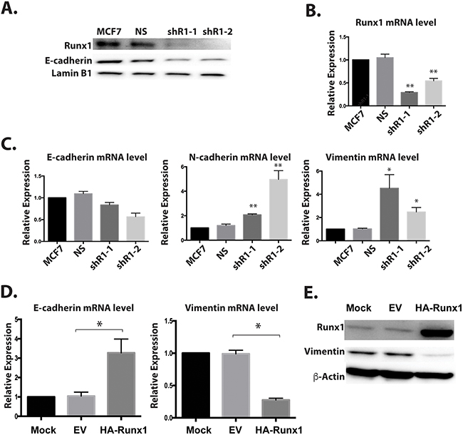 Runx1 controls EMT-MET in non-metastatic breast cancer cells.
