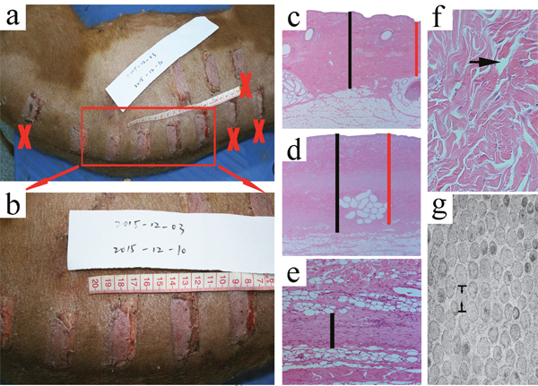 Macroscopic observations of the wound models at the time of 1 week post-wounding and measurement of the primary parameters.