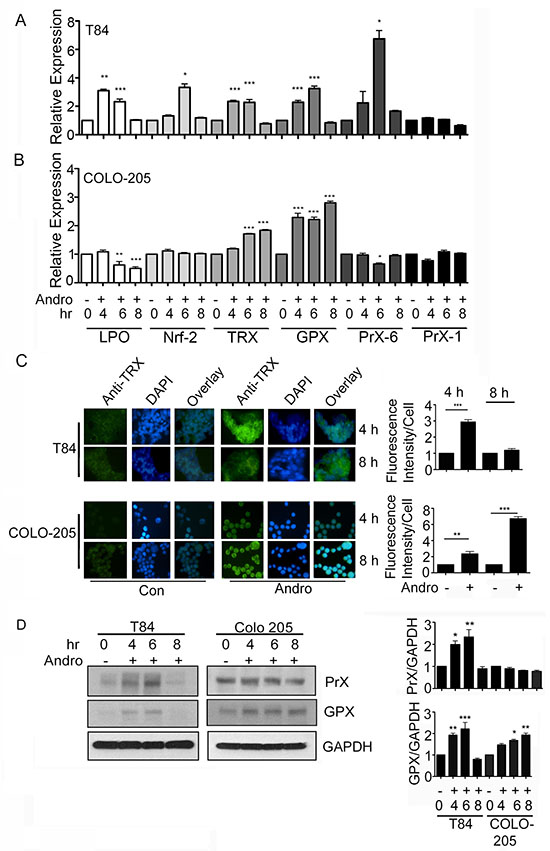 Andrographolide induces anti-oxidant gene expression.