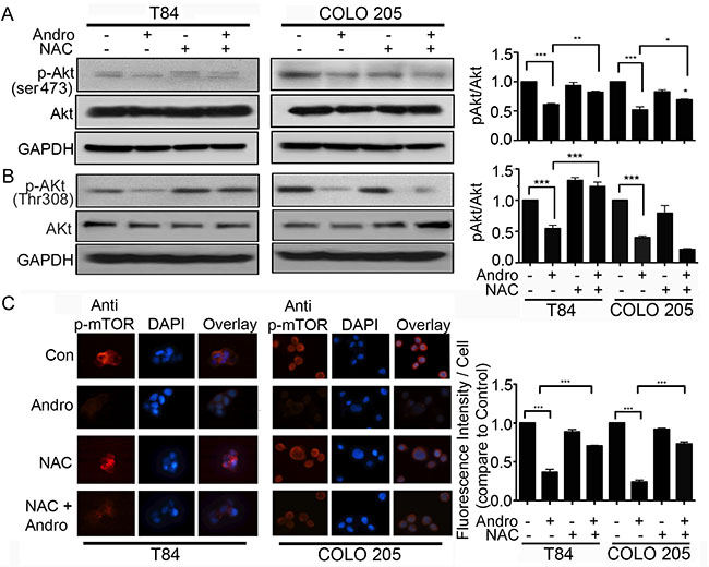 Andrographolide induced oxidative stress inhibits the Akt/mTOR cell survival signaling pathway.