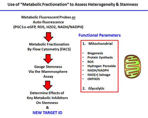 Experimental strategy for examining the role of metabolic heterogeneity in CSC propagation.