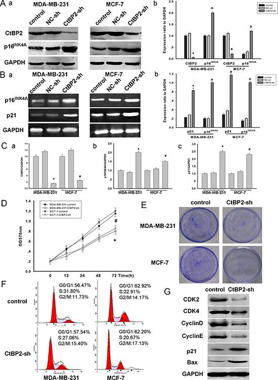 Knockdown of CtBP2 declines breast cancer cells proliferation.