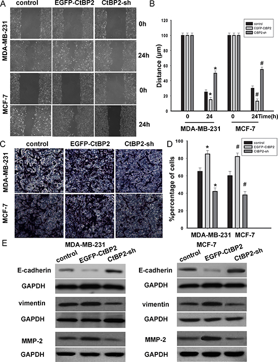 CtBP2 suppressed breast cancer cells migration and invasion.