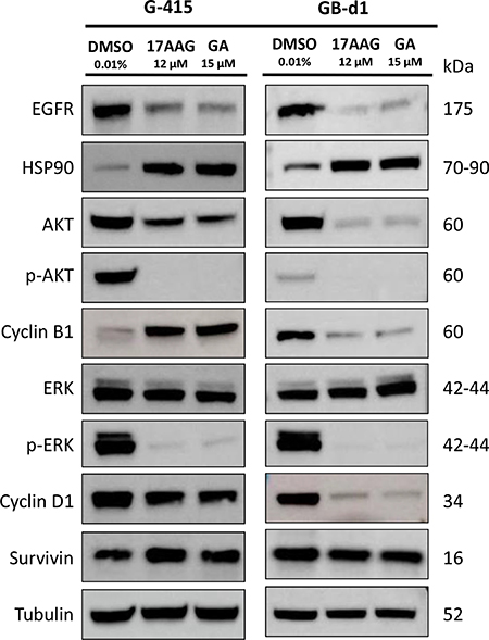 In vitro effects of 17-AAG and GA on HSP90 expression and on HSP90 client protein expression in two GBC cell lines.