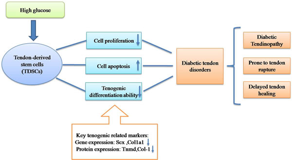 Hypothetical model of pathogenesis of diabetic tendon disorders.