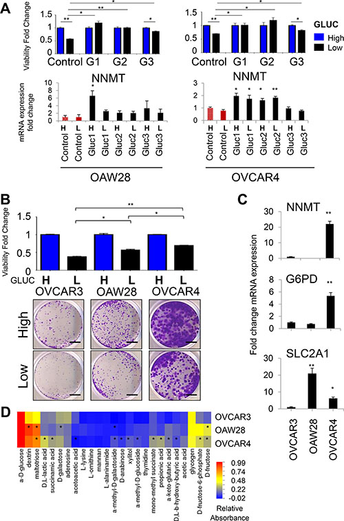 NNMT and G6PD expression correlates with tolerance to glucose deprivation in OVCAR4 and OAW28 cells.