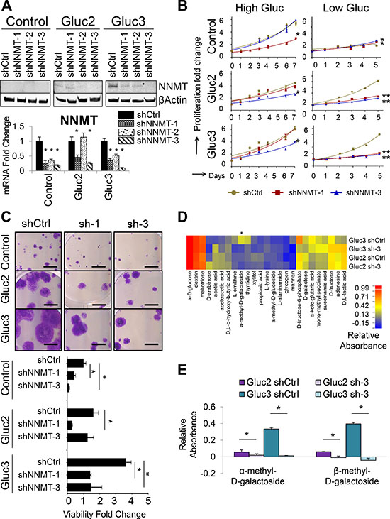 NNMT depletion in glucose-restricted OVCAR3 cells reverses tolerance to low glucose levels.