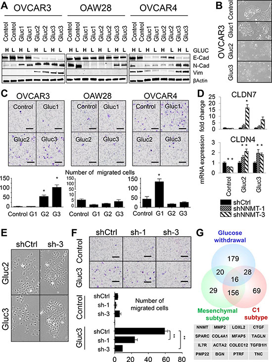 Glucose deprivation creates phenotypic heterogeneity in cellular populations.
