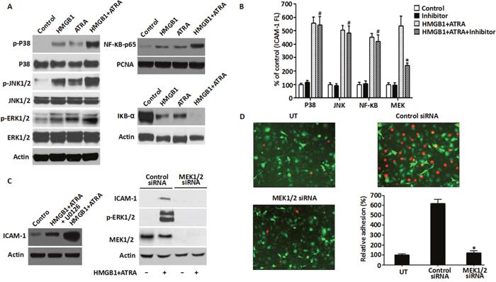 Role of MEK/ERK pathway in HMGB1-mediated cytokine secretion and ICAM-1 elevation.