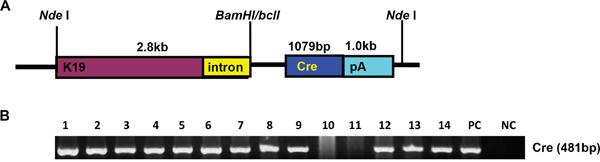 The establishment and genetic screening of K19-Cre transgenic mice.