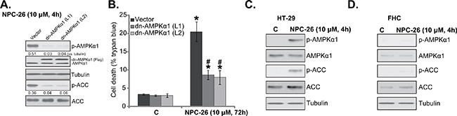 AMPKα1 mutation inhibits NPC-26-induced killing of HCT-116 cells.