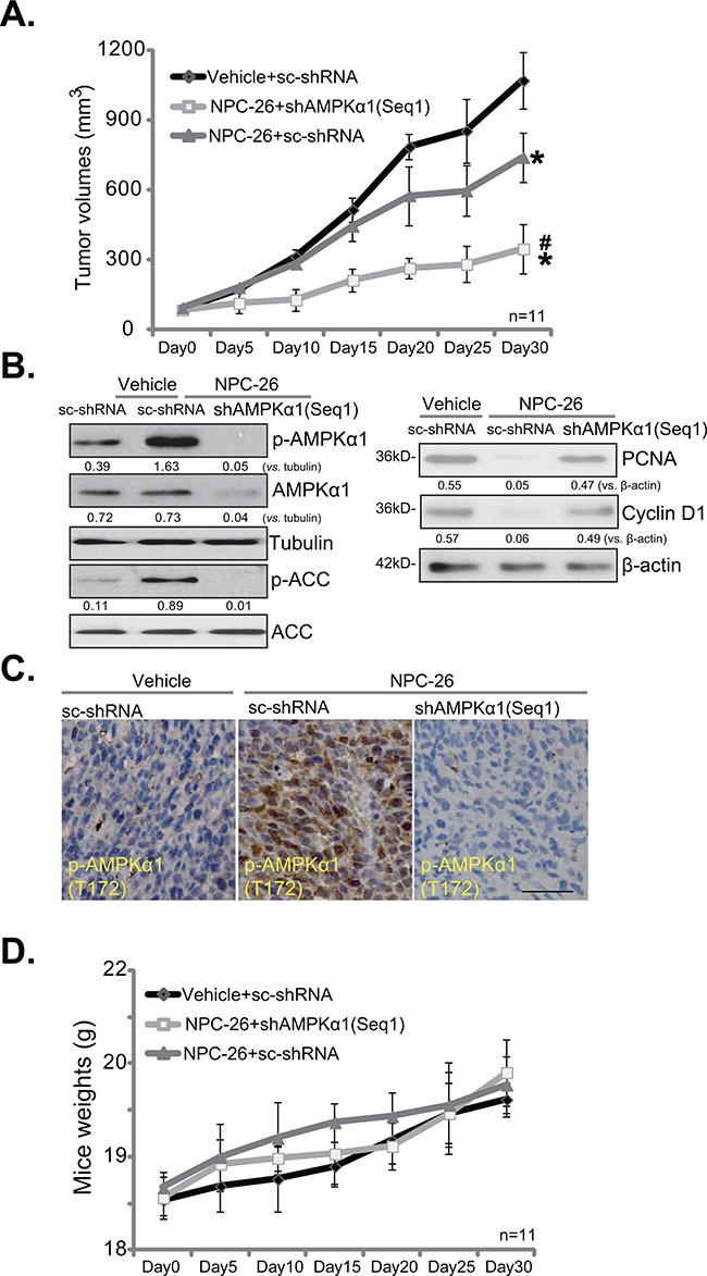 NPC-26 inhibits HCT-116 tumor growth in SCID mice.