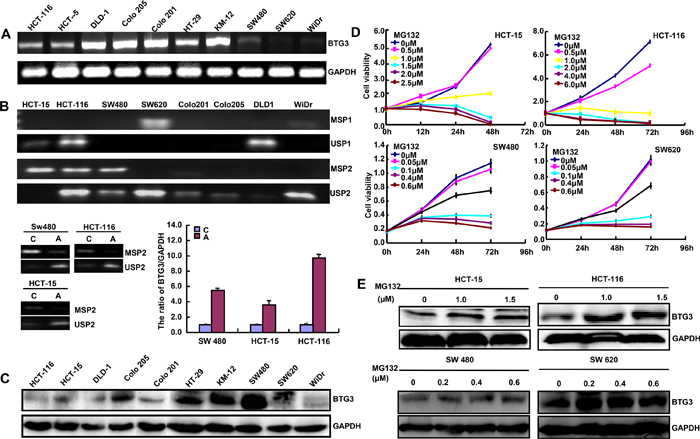 BTG3 expression in colorectal cancer cells.