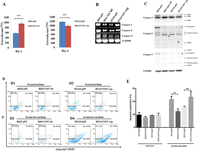 NOV suppresses proliferation and survival of CRC cell lines.
