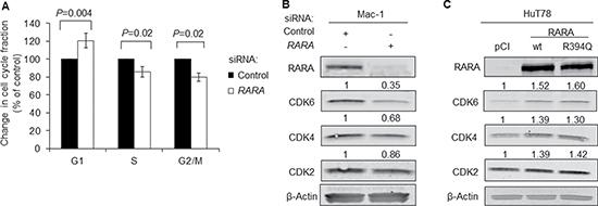 RARA drives expression of cyclin-dependent kinases.