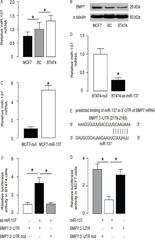 MiR-137 targets BMP7 to inhibit its protein translation in BC cells.