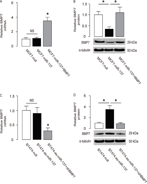 MiR-137 decreases BMP7 protein but not mRNA in BC cells.