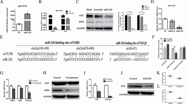 MiR-326 inhibited TGF-β1 expression by the down-regulation of the SMO/Gli2 pathway.