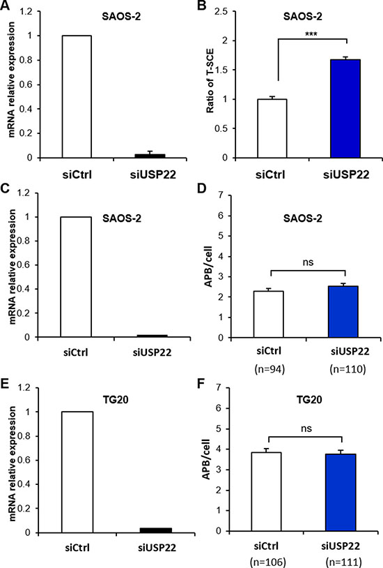 Down-regulation of USP22 increases T-SCEs in ALT cells but has no effect on APB formation.