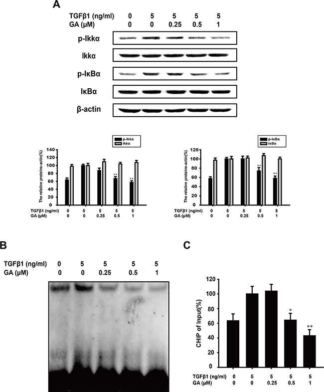 GA inhibits TGFβ1-induced activation of the NF-κB pathways in A549 cells.