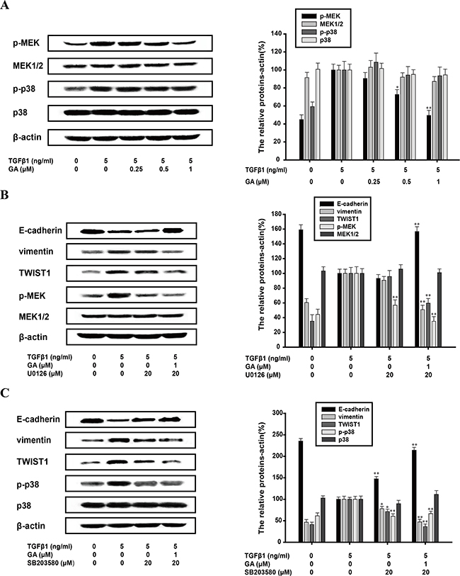 Inhibition of TGFβ1-induced EMT by GA does not require MAPK pathway.