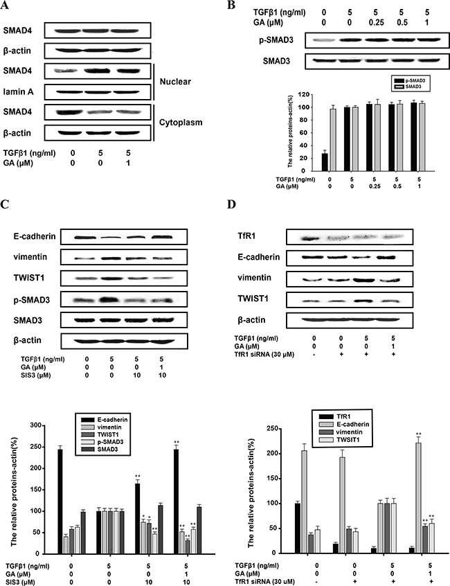Inhibition of TGFβ1-induced EMT by GA does not require SMAD pathway or the transferrin receptor.