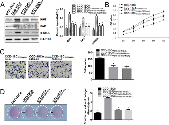 Silencing PGRN expression in SW480 cells inhibited proliferation, migration and contraction abilities of co-cultured fibroblasts.