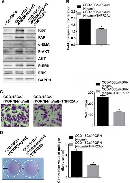 TNFR2 neutralizing antibody inhibited activation and AKT phosphorylation of fibriblasts induced by rPGRN.