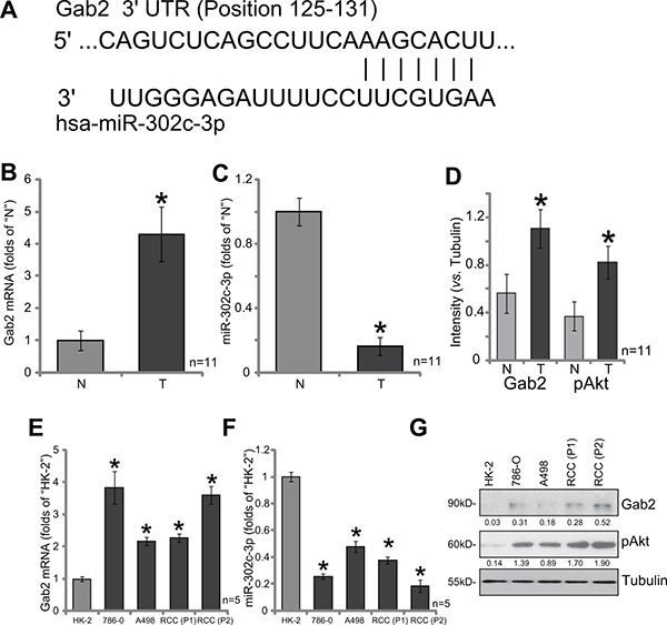 Gab2 over-expression correlates with miR-302c-3p downregulation and Akt hyper-activation in RCC tissues and RCC cells.
