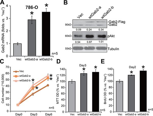 Gab2 over-expression facilitates 786-O cell proliferation.