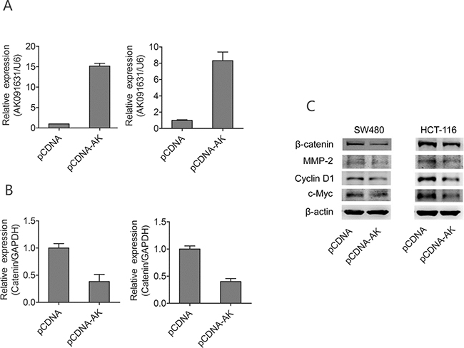 Up-regulation of lncRNA-BCAT1 decrease expression of β-catenin signaling pathway in CRC cells.