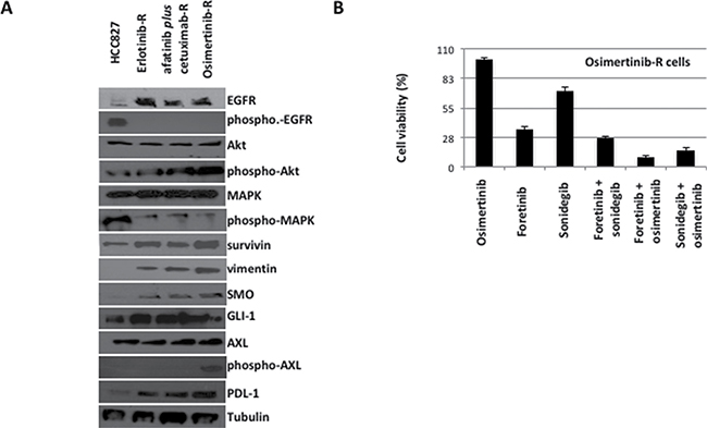 Western blot analysis on protein lysates and proliferation assays on cancer cell lines established in vitro from the only one HCC827-xenograft tumor resistant to the sequential treatment with erlotinib, afatinib plus cetuximab and osimertinib.