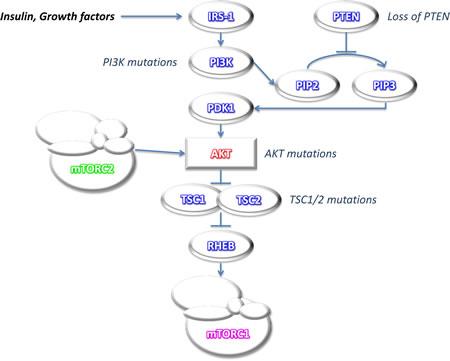 Simplified scheme of mTOR pathway activation.