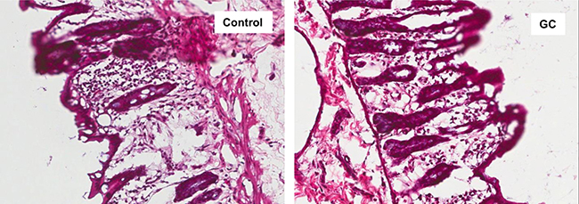 GC treatment ameliorated colon mucosal damage in NAFLD rats.