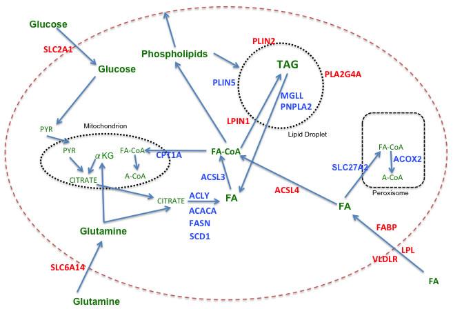 Fatty acid metabolism in breast cancer.