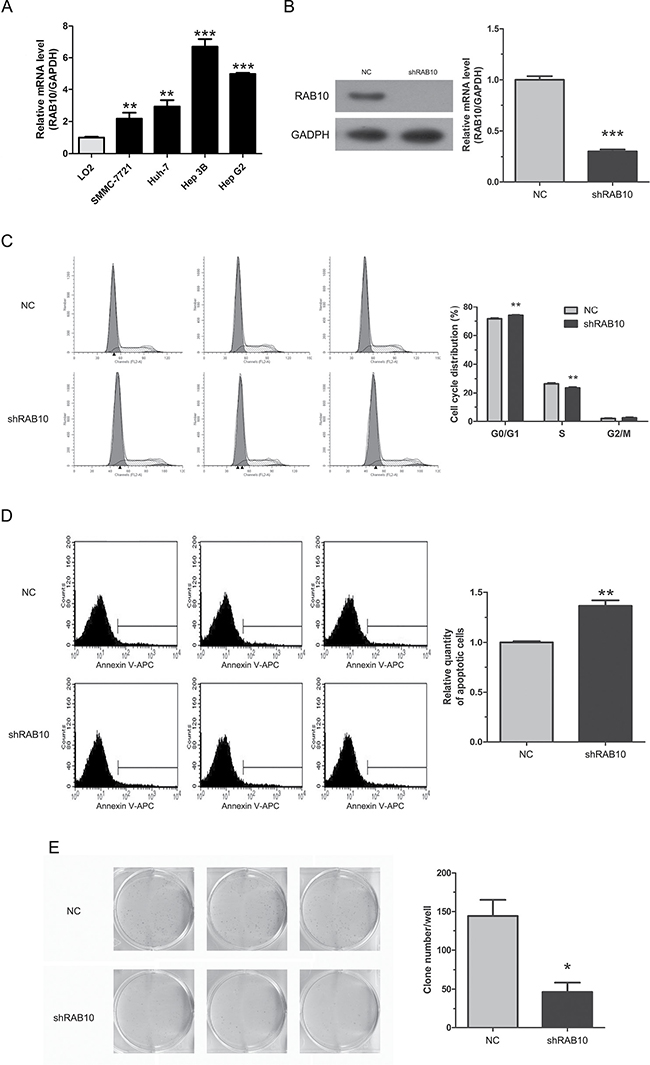 RAB10 knockdown induced cell cycle arrest and apoptosis and reduced colony formation in SMMC-7721 cells.