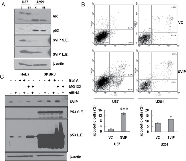 Depletion of SVIP by siRNA causes declined protein level of p53wt and overexpression of SVIP leads to apoptosis in U87 cells.