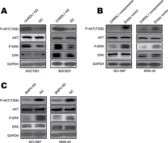 Low CHRDL1 expression activated Akt and Erk in gastric cancer.