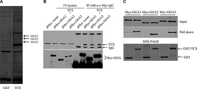 TCS binds to GGA proteins.