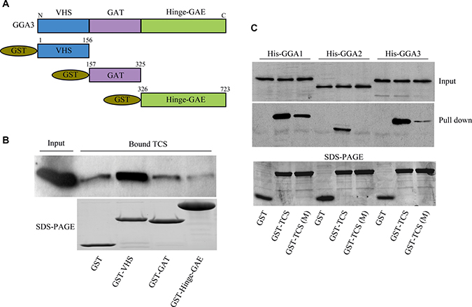 The DXXLL motif in TCS and VHS domain in GGAs mediates their interaction.