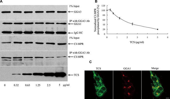 TCS competitively inhibits CI-MPR binding to GGA1.