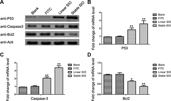 Stable SIO regulated the expression of apoptosis-related genes at mRNA and protein levels.