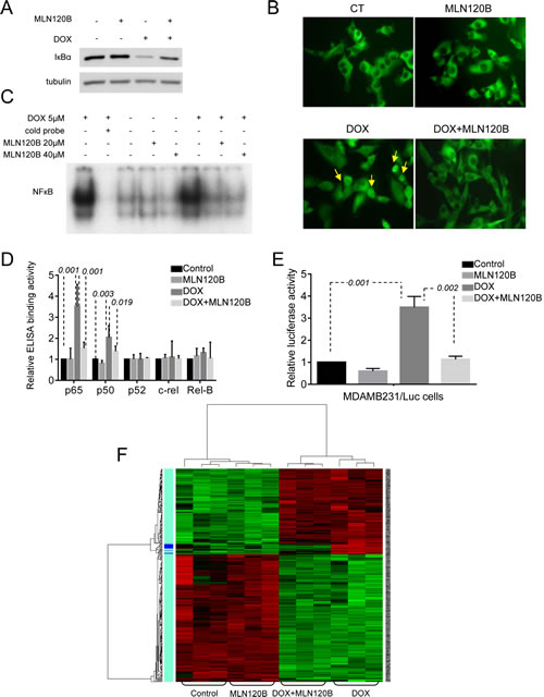 Doxorubicin activates the NF-кB and enhances the expression of migration, cell adhesion and metastasis related NF-кB target genes in MDA-MB-231 breast cancer cells.