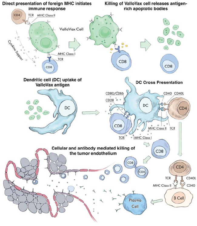 Multiple steps in the ValloVax-induced immune response.