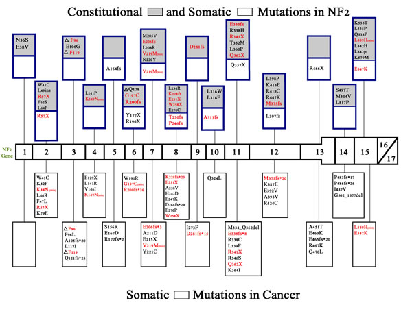 Constitutional and somatic NF2 mutations in neurofibromatosis 2 and somatic NF2 mutations in cancer.