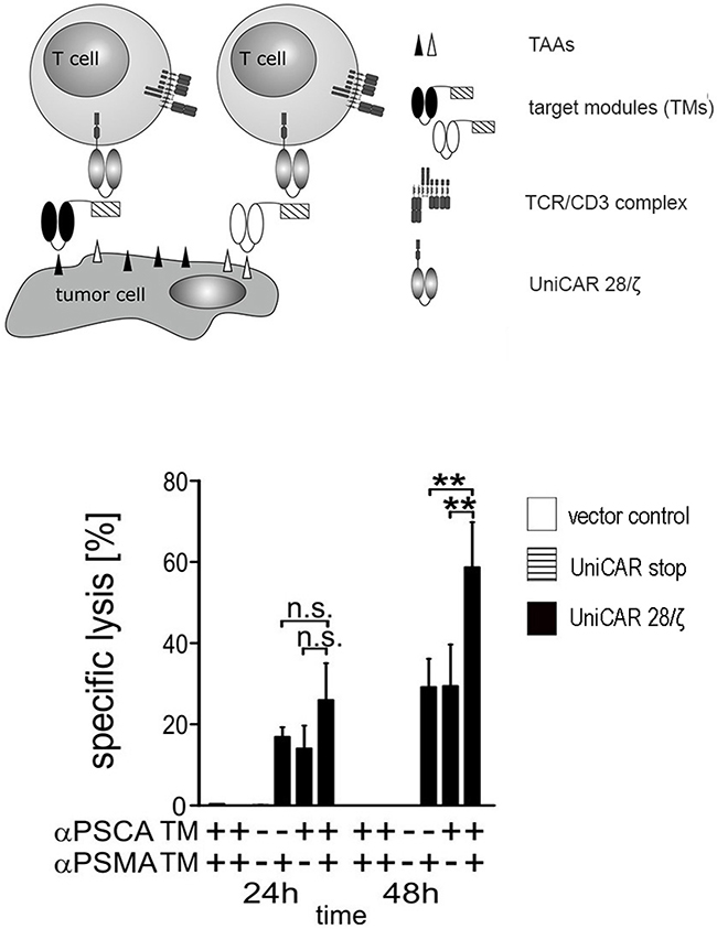 Simultaneous targeting of PSCA- and PSMA positive tumor cells with UniCAR T cells armed with both αPSCA- and αPSMA TMs.