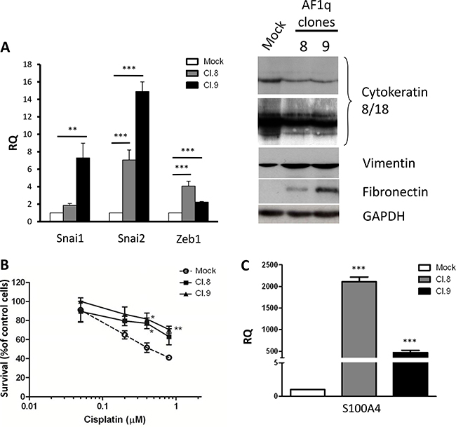 AF1q overexpression induce acquisition of mesenchymal traits in A2780 ovarian cancer cells.